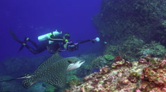 Spotted eagle ray swims on deep, rocky reef. Stock Footage