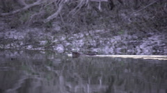Coypu, Nutria swiming  on the Danube, nice reflection Stock Footage