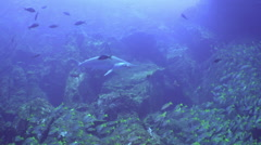 Whitetip Reef sharks on rocky reef search food. - stock footage
