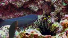 Whitetip Reef sharks on rocky reef search food. Stock Footage