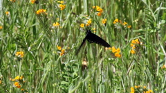 Slow Motion Black Butterfly Fluttering Over Orange Flowers Stock Footage