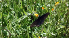 Black Butterfly Fluttering Over Yellow Flowers Stock Footage