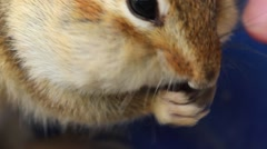 Extreme close-up of chipmunk face and hands eating and filling his pouch Stock Footage