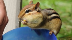 Chipmunks sitting on the edge of a bowl filling his pouches with food. Stock Footage