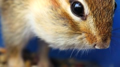 Extreme close-up of chipmunk's face while eating seeds from a bowl - stock footage