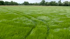 Wheat field green grain by drone Stock Footage