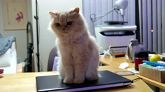 Persian cat sitting on computer and watching TV Stock Footage