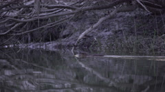 Coypu, River Rat, Nutria swim on the Danube in the evening Stock Footage
