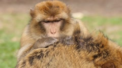 Barbary macaque searching intensively for fur parasites Stock Footage