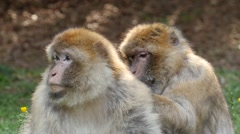 Barbary macaque searches for parasites in fur of his fellows Stock Footage