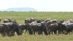 Huge amount of Wildebeests during migration in Serengeti national park Tanzania  - stock footage