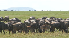 Huge amount of Wildebeests during migration in Serengeti national park Tanzania  Stock Footage