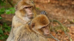 Barbary macaque searches for parasites in fur of his fellows head, portrait Stock Footage