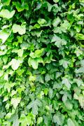 Wild abundant green ivy grows up a tree trunk - stock photo