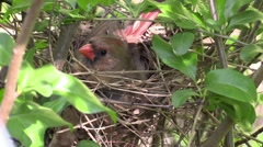 Cardinal sitting in nest with babies zoom in - stock footage