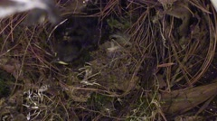 Mother wren feeds babies a worm then carries out scat Stock Footage