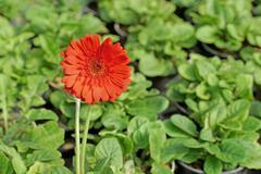 beautiful gerbera or Barberton daisy flower - stock photo