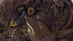 Mother wren feeds babies in nest Stock Footage