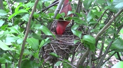 male cardinal feeds babies in nest carries away poop sack - stock footage