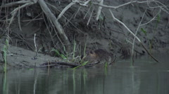 Coypu, River Rat, Nutria eat on the riverside in the afternoon Stock Footage