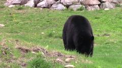 Black bear eating grass Stock Footage