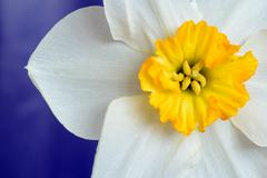 Close up of the white petals and yellow stamen of a Narcissus Daffodil with a - stock photo