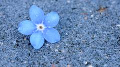 Single perfect blue forget-me-not flower on a grey background with water drop Stock Photos