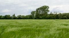 Wheat field green grain Stock Footage
