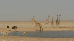 seven giraffes at waterhole, one drinks, others wait cautiously - stock footage