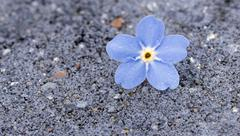 Single perfect blue forget-me-not flower on a grey background with water drop - stock photo