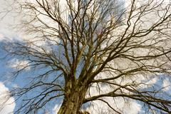 Bare tree with no leaves and a blue sky background used for composite designs Stock Photos