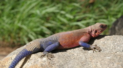 Orange and blue agama lizard sits on grey stone in Serengeti national parkTanzan Stock Footage