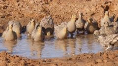 Sandgrouses running to a puddle, drinking hecticly Stock Footage