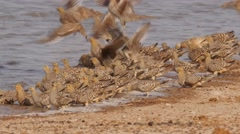 Sandgrouses running to the water, drinking hecticly, fly away Stock Footage