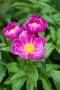 Gorgeous purple paeonia lactiflora in full bloom in the rain with shiny water - stock photo