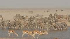 Lots of zebras at waterhole drinking nervously Stock Footage