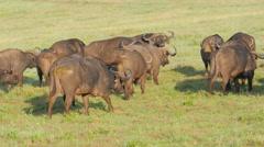 African buffalo herd in the Ngorongoro crater - Tanzania 4K Stock Footage