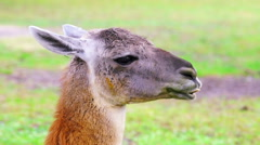 Cute Llama Chewing - stock footage