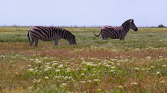 Zebras Grazing on a Hot Day Stock Footage