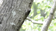 Male green woodpecker exits the nest Stock Footage