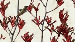 Hummingbird Profile in Kangaroo Paw Flowers Stock Footage
