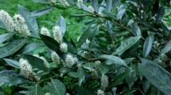 Viburnum flower Stock Footage