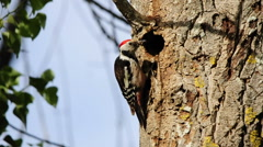 Middle spotted woodpecker comes to the nest carrying food and feeds the young. Stock Footage
