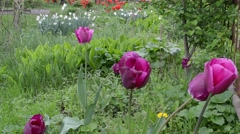 Flowerbed with purple tulips, daffodils and lilies of the valley - stock footage