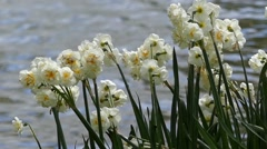 White Narcissus Swaying in the Wind. Stock Footage