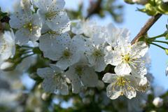 Cherry Flowers with water drops Stock Photos