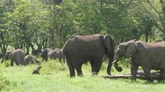 Huge African elephants in the Ngorongoro crater Tanzania 4K Stock Footage