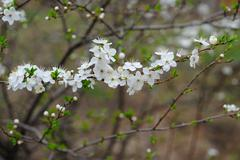 Cherry tree blossom white flowers spring background Stock Photos
