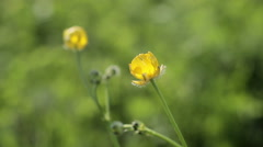 Yellow flower swaying in the wind Stock Footage