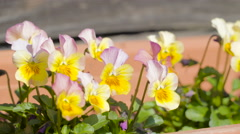 A pansy flower on a hanging pot in the window Stock Footage